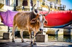 Vache avec des klaxons Photo stock