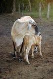Vache avec des klaxons se tenant regardants fixement Photographie stock libre de droits