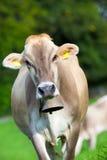 Vache avec la cloche Image libre de droits