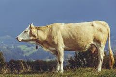Vache avec la cloche sur le cou Photo stock