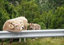 Vache avec la vache à bébé sur le bord de la route Photographie stock libre de droits