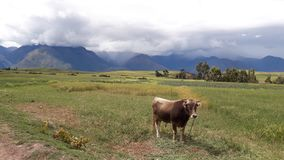 Vache avec la vue des montagnes photographie stock libre de droits