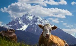Vache avec le panorama alpin Photos stock