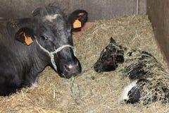 Vache avec le veau Photographie stock libre de droits