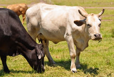 Vache avec les cheptels bovins multipliés australiens de klaxons Photos stock
