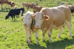 Vache avec son veau frôlant sur le pâturage alpin Photos stock