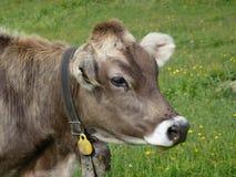 Vache avec un trychel Photos stock