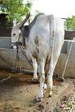 Vache avec une corde - 3 Photos stock
