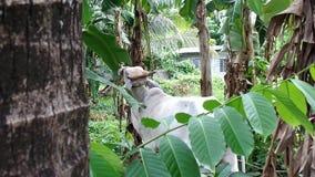 Vache blanche égarée à brahman mangeant des feuilles de banane banque de vidéos