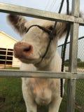 Vache blanche Photos libres de droits