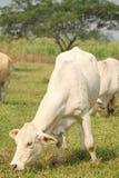 Vache blanche Image libre de droits