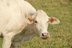 Vache blanche photo stock