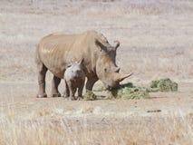 Vache blanche africaine à rhinocéros avec le veau Photographie stock
