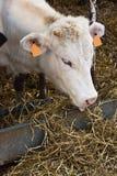 Vache blanche alimentant avec le foin Photo libre de droits