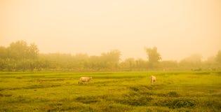 Vache blanche Asie sur le champ de pré Photographie stock