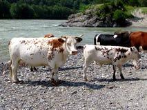Vache blanche avec le veau. Photo libre de droits
