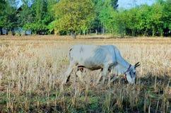 Vache blanche dans le domaine de riz images stock