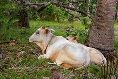 Vache blanche et veau frôlant et se situant dans le domaine Concept de ferme de bétail Animaux domestiques ruraux Vache et poulai photographie stock libre de droits