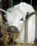 Vache blanche mâchant le foin image stock