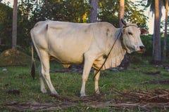 Vache blanche regardant la caméra frôlant dans le domaine tropical Concept de ferme de bétail Animal domestique rural image stock