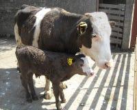 Vache ? Brown et son veau brun en Irlande sur les lamelles concr?tes avec des portes dans un champ images stock
