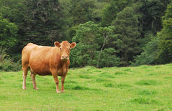 vache brune Photo stock
