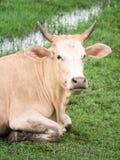vache brune Photographie stock libre de droits