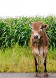 vache brune Photo stock