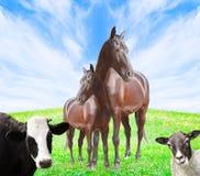 Vache, cheval et moutons Photos libres de droits