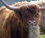 Vache cornée Photo libre de droits