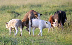 Vache cornée Images stock