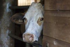 Vache curieuse à Braunvieh regardant fixement derrière une porte en bois photographie stock