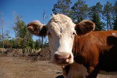 Vache curieuse Photographie stock libre de droits