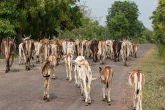 Vache curieuse Photos libres de droits