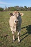 Vache curieuse Photos stock