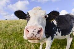 Vache curieuse Photo libre de droits