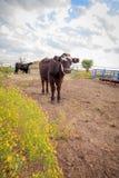 Vache curieuse dans le corral photographie stock