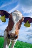 Vache curieuse mignonne à chéri image libre de droits