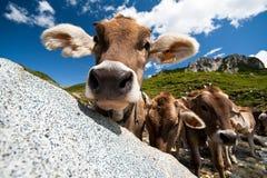 Vache curieuse sur un pré Photo stock