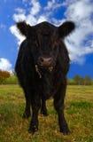 Vache d'Aberdeen Angus Image stock