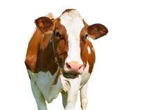 Vache d'isolement sur le blanc Photo libre de droits