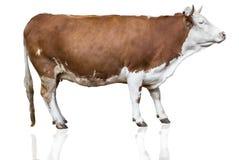 Vache d'isolement sur le blanc Photographie stock libre de droits