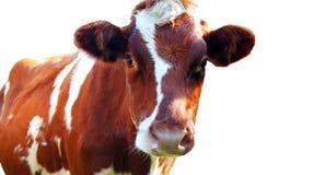 Vache d'isolement sur le fond blanc Photographie stock