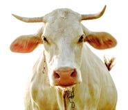 Vache d'isolement sur un fond blanc Photos stock