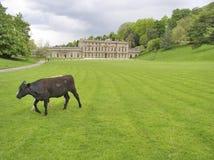 Vache dans des environnements grands photo stock