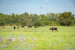 Vache dans des rizières Photos libres de droits
