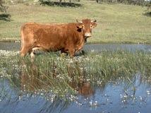 Vache dans l'eau Images stock