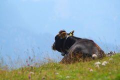 Vache dans l'herbe Photo stock