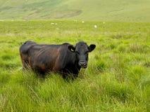 Vache dans l'herbe de hig Images libres de droits