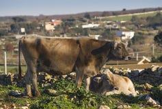Vache dans la campagne Photo stock